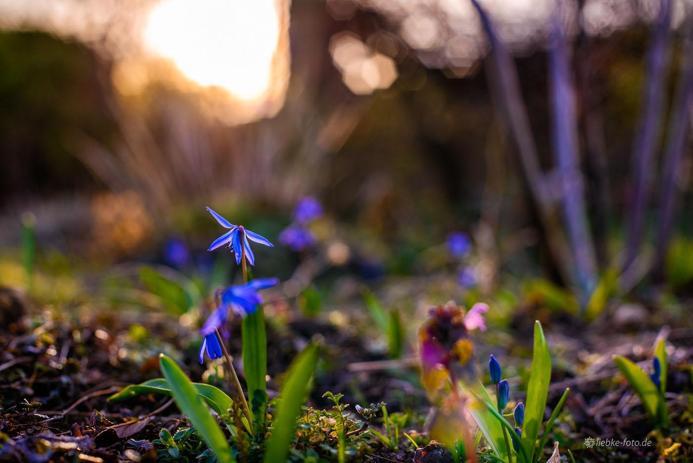 Blaues Frühlingswunder im Schrebergarten