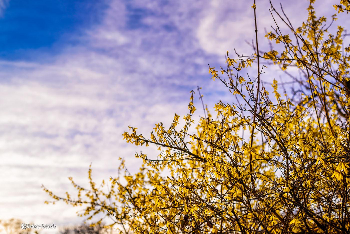 Frühblüher vor märkischem Himmel wetteifern mit dem Strahlen der Abendsonne