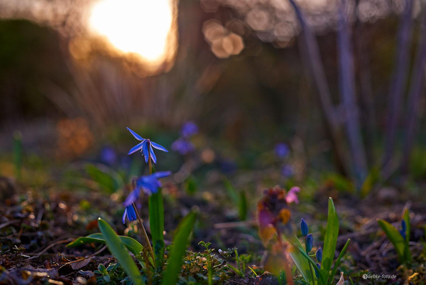 Mutige Frühlingsblüher im Abendlicht