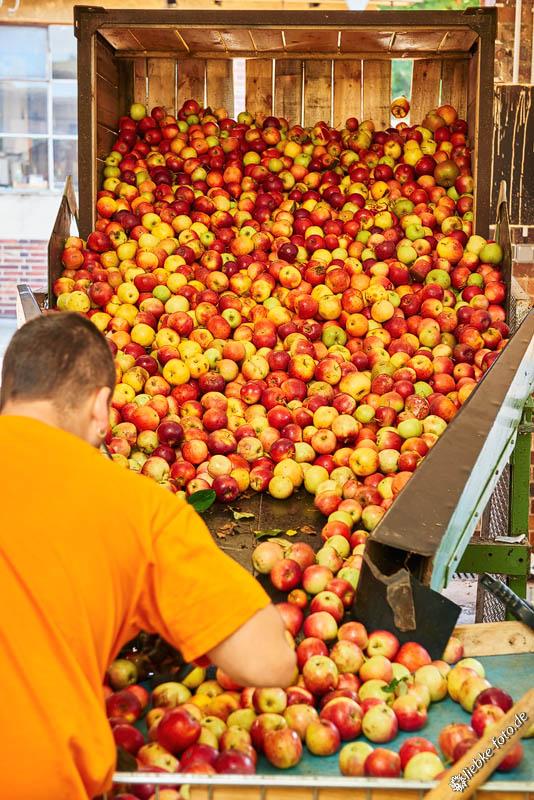 Die Äpfel werden aus Paletten aufs Band gekippt