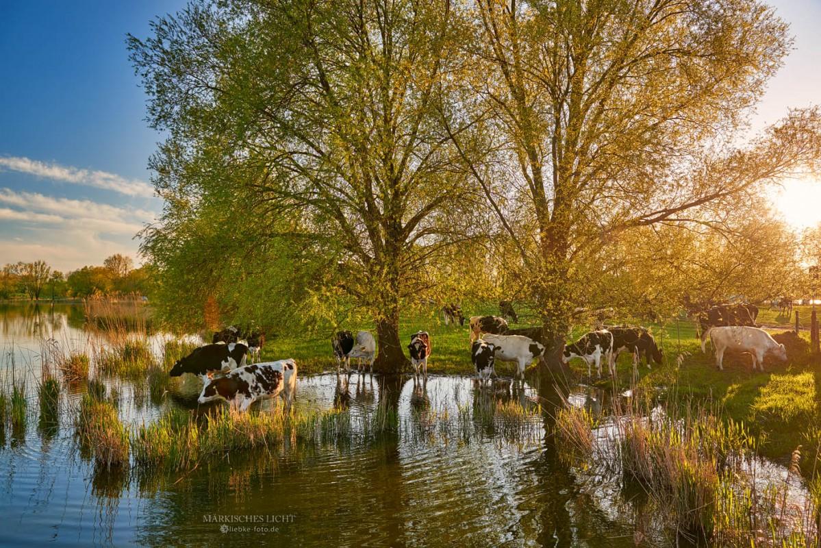 Für leckeres frisches Grün gehen die Kühe auch mal ins Wasser...