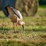 Storch fängt sich eine Feldmaus