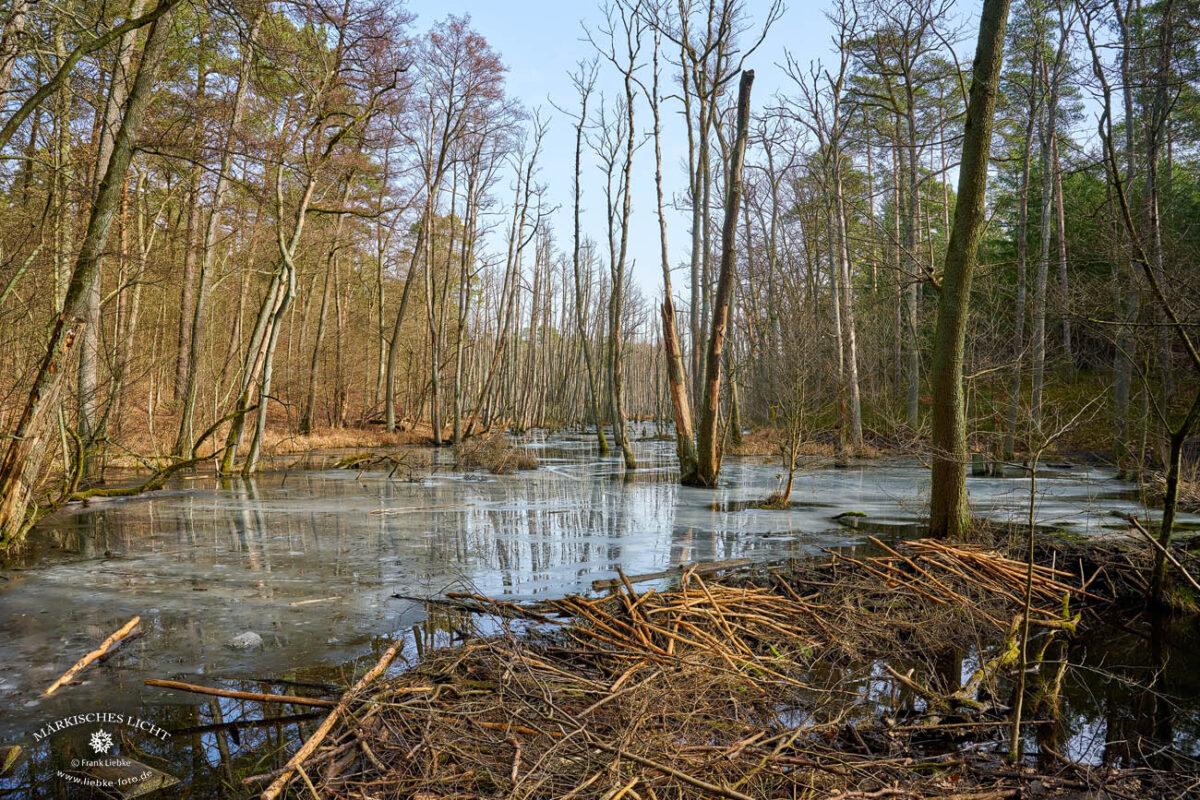 Das Briesetal im Naturpark Barnim, Biberdamm