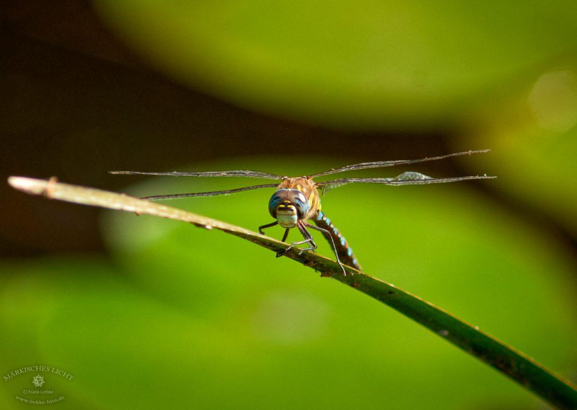 Das Lächeln der Libelle