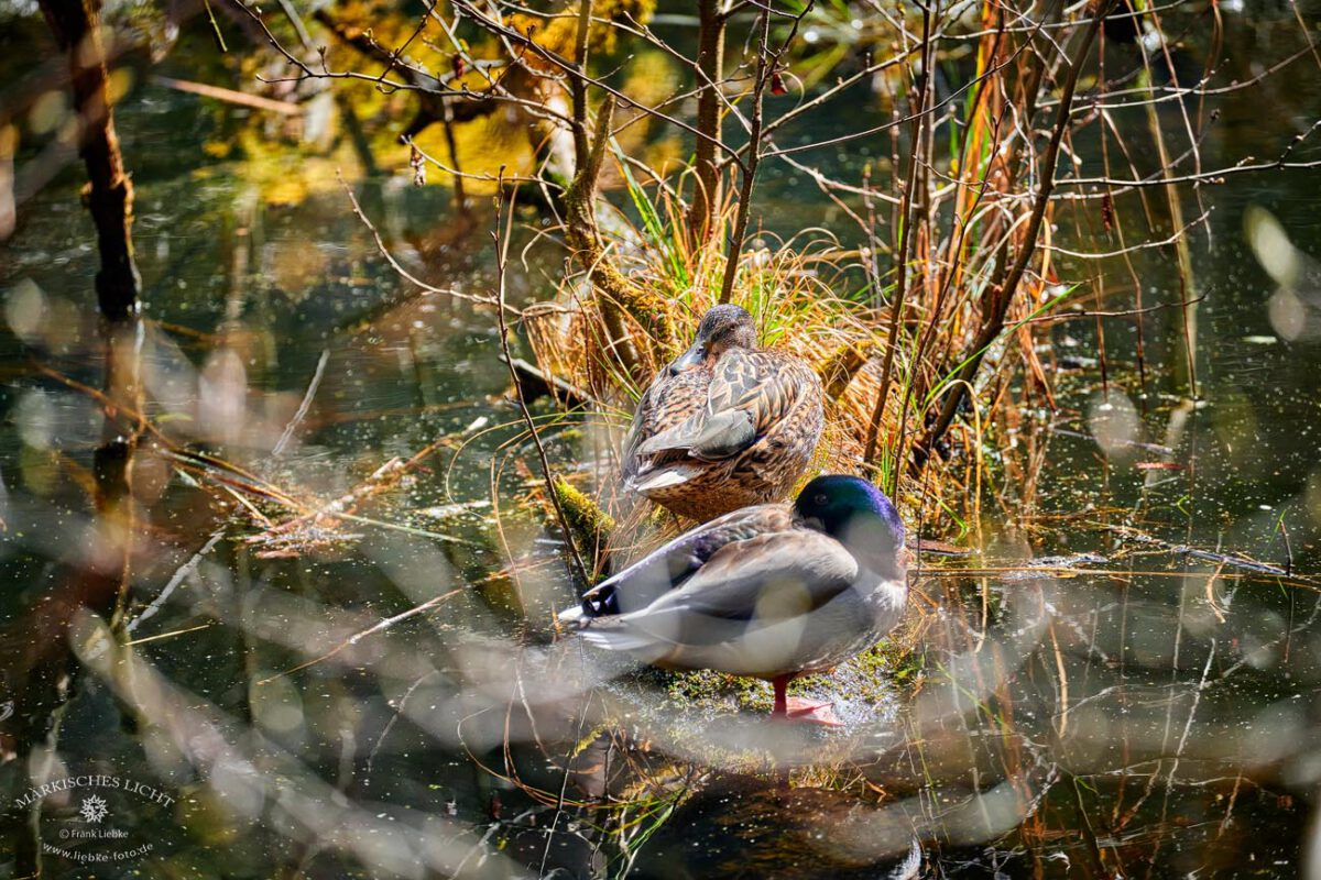 Briesetal im Naturpark Barnim, Stockentenpaar