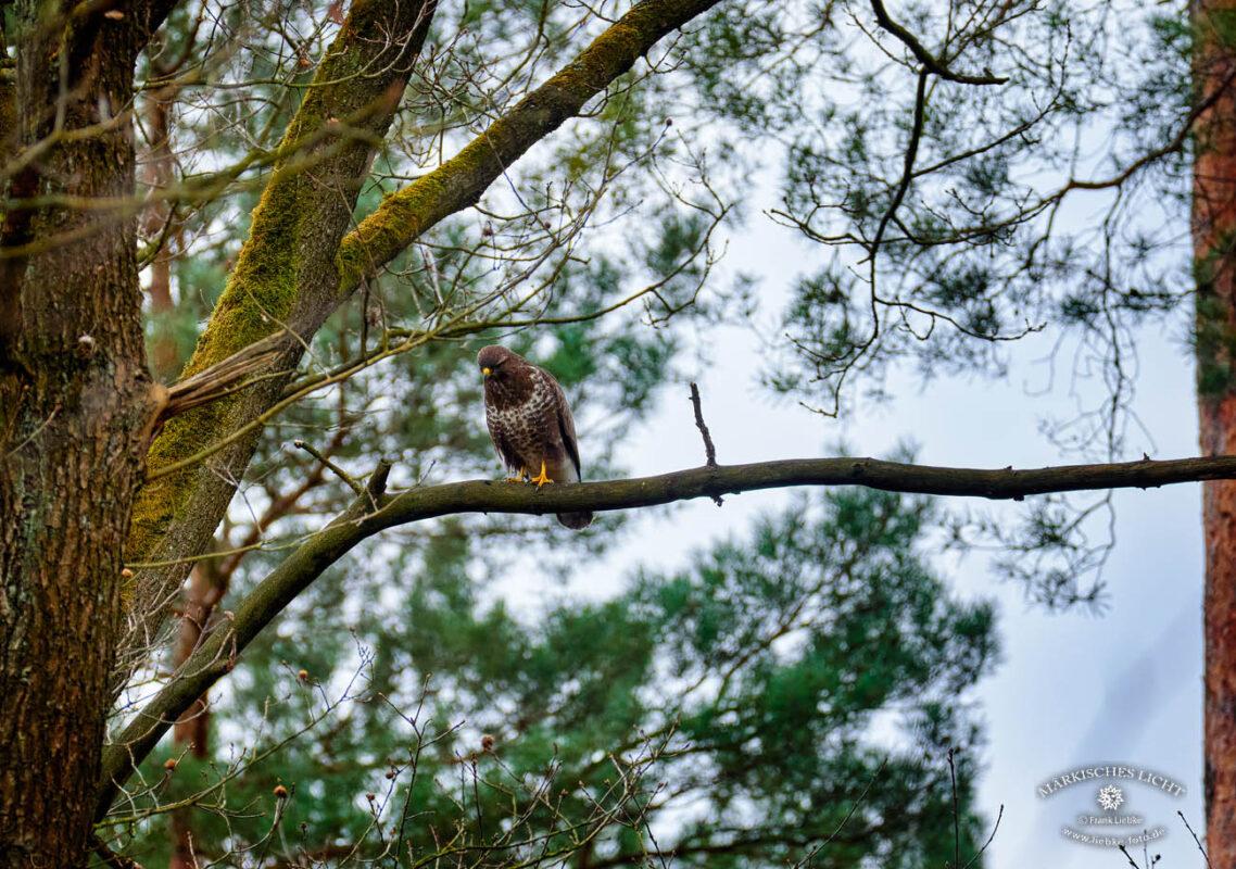 Briesetal im Naturpark Barnim, Bussard auf einem Ast hält ausschau