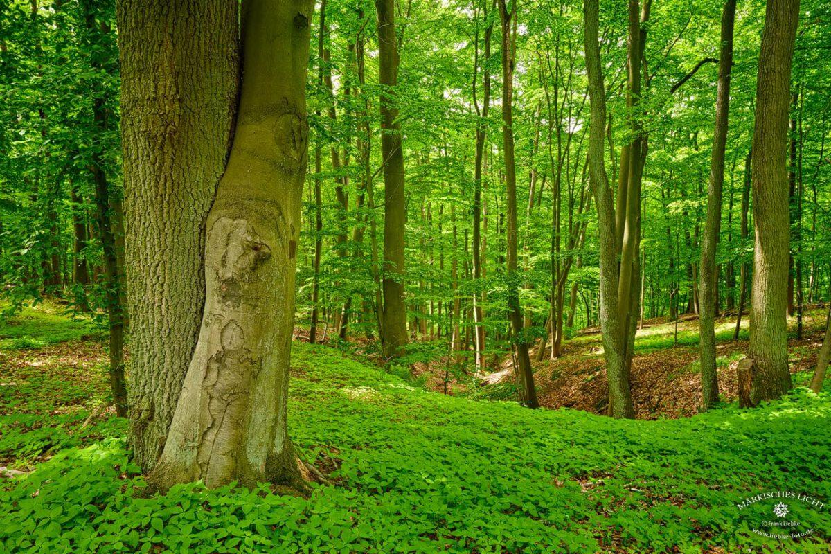 Grumsiner Forst