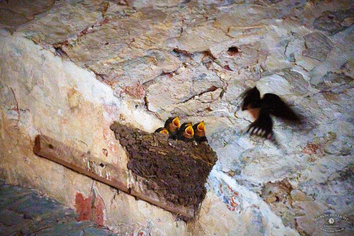 Im Durchgang zur Festung Dömitz hat sich ein Schwalbenpaar ihr Brutrevier gebaut