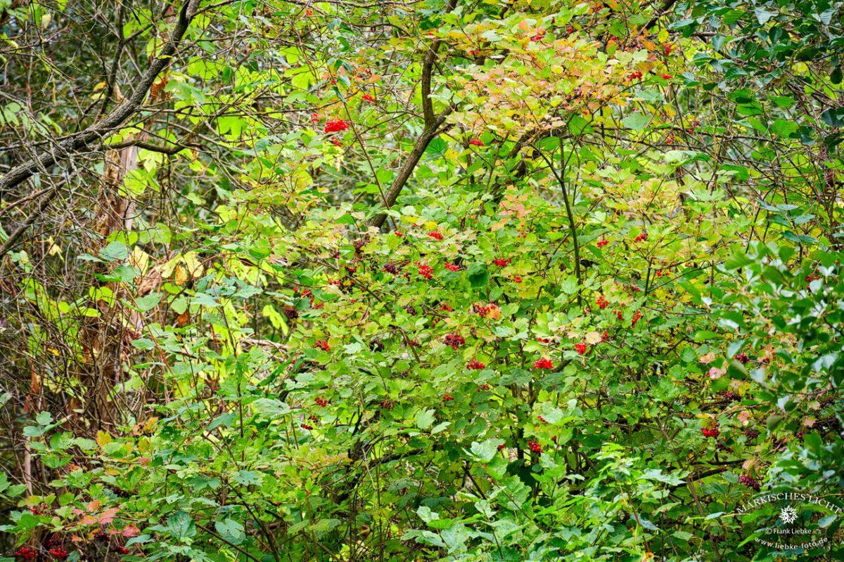 Letzte Früchte für die Vögel, Eichwerder Moorwiesen, Lübars, Naturpark Barnim,