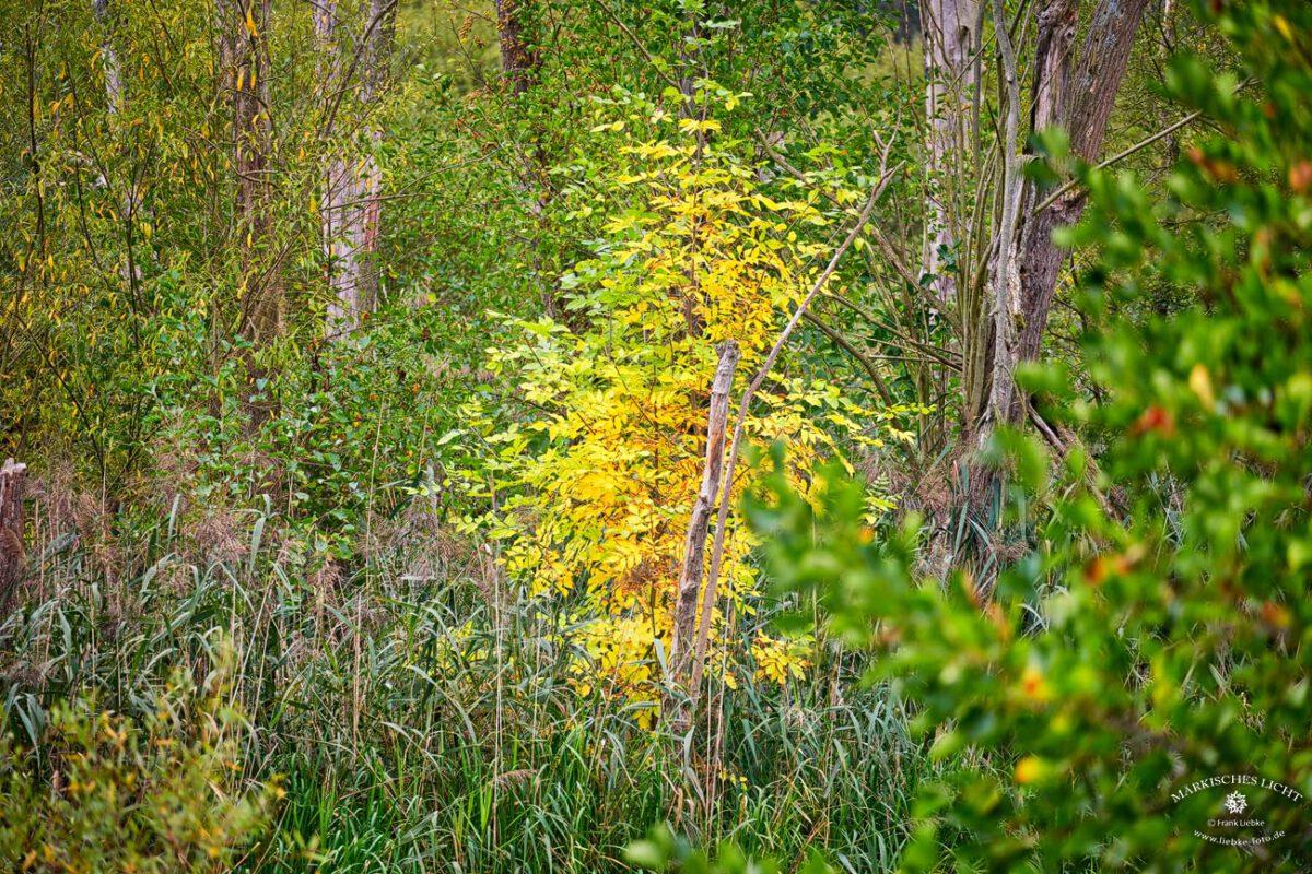 Herbst, buntes Laub, Urwald, Eichwerder Moorwiesen, Lübars, Naturpark Barnim,