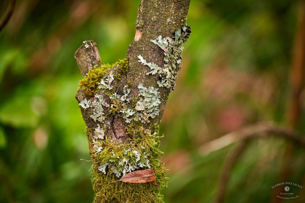 Flechten auf einem Baumstamm