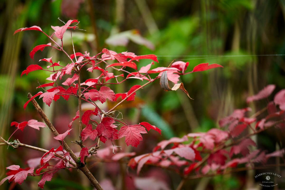 Rote Herbstblätter und Altweibersommer