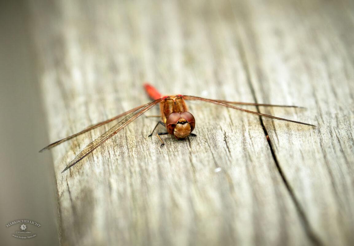 Libelle. Eichwerder Moorwiesen im Naturpark Barnim bei Lübars.