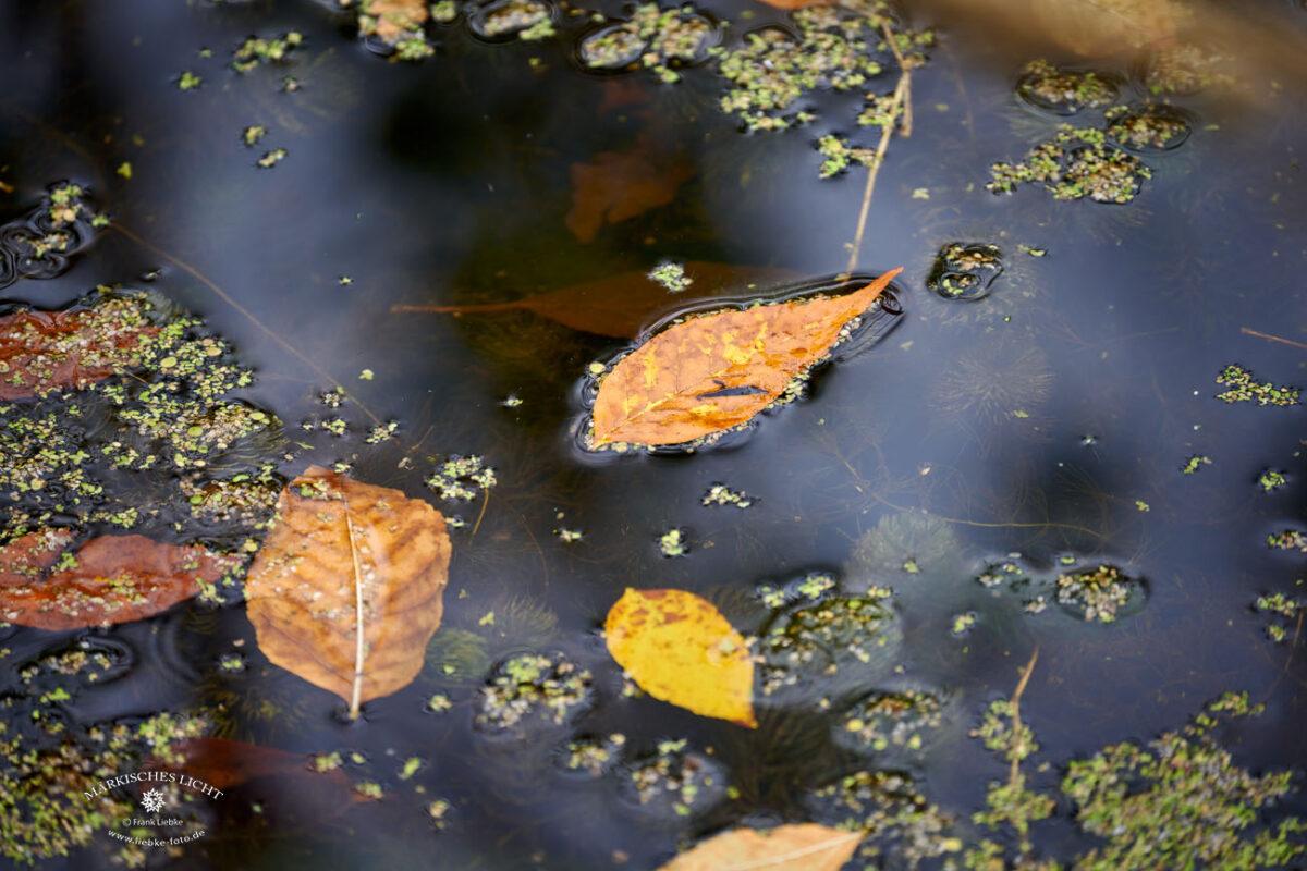 Herbstblatt auf dem Wasser. Eichwerder Moorwiesen im Naturpark Barnim bei Lübars.