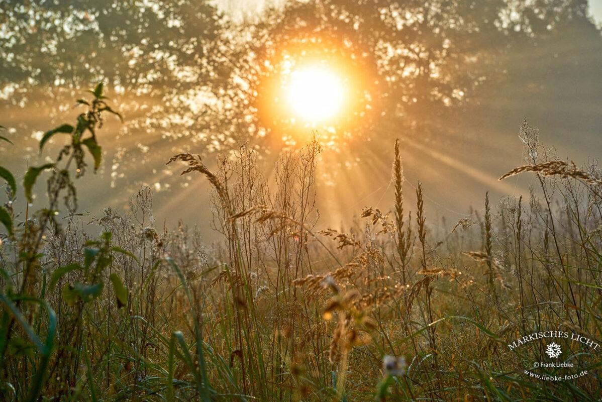 Lichter Herbstmorgen mit Nebel und Tau auf den Gräsern im Naturpark Barnim